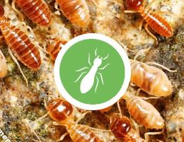 BD_Termite